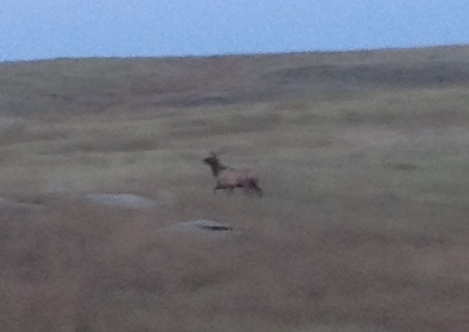 Elk Coming Home  2014-09-27